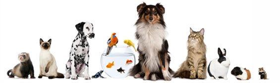 Foto de Furão, gato, dálmata, aquário, pássaros, Collie, gato, coelho, chinchilla, ramster